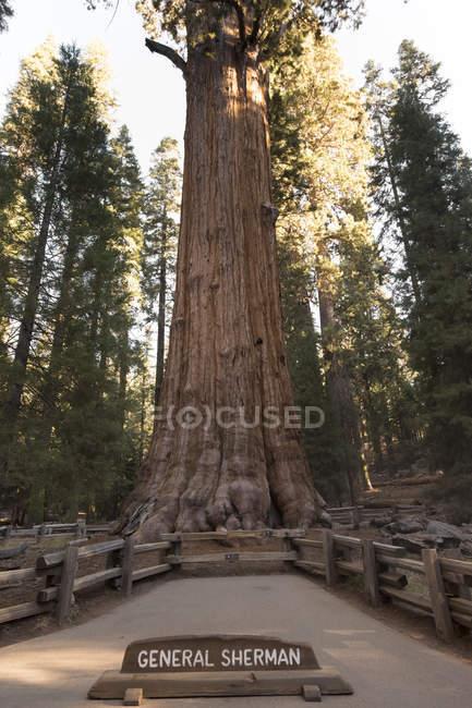 USA, California, Death Valley, General Sherman Tree, giant sequoia, Sequoiadendron giganteum — Stock Photo
