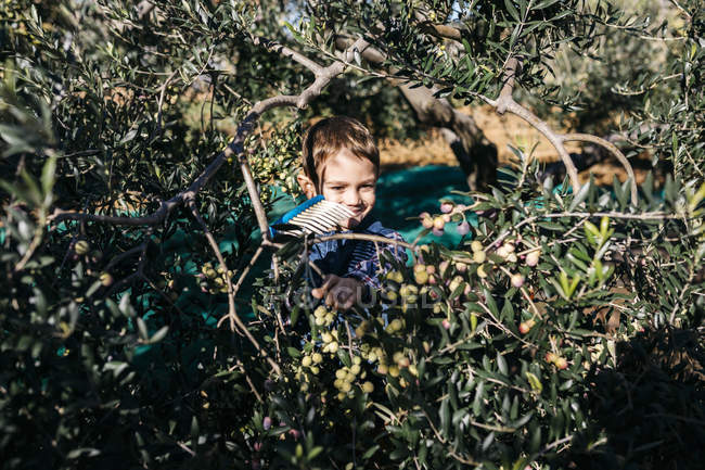 Boy picking olives from tree — Stock Photo