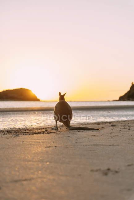 Austrália, Queensland, Mackay, Cape Hillsborough National Park, vista para trás de wallaby na praia ao nascer do sol — Fotografia de Stock