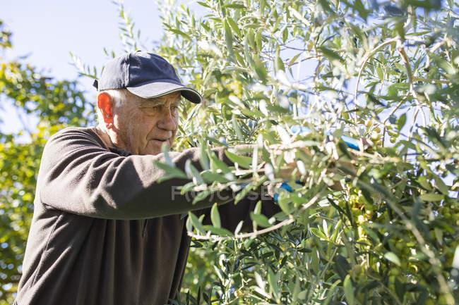 Senior man picking olives from tree — Stock Photo