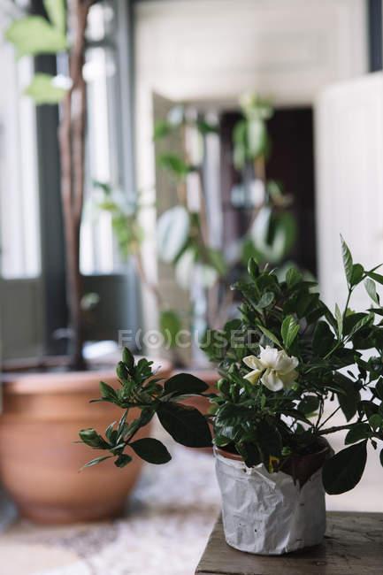 Pianta in vaso per la decorazione della tavola — Foto stock