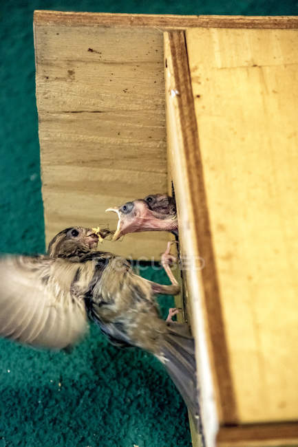 Spatz fütterung Jungvogel — Stockfoto