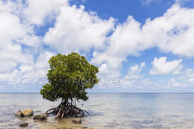 Mauritius, Costa orientale, Oceano Indiano, albero di mangrovie — Foto stock