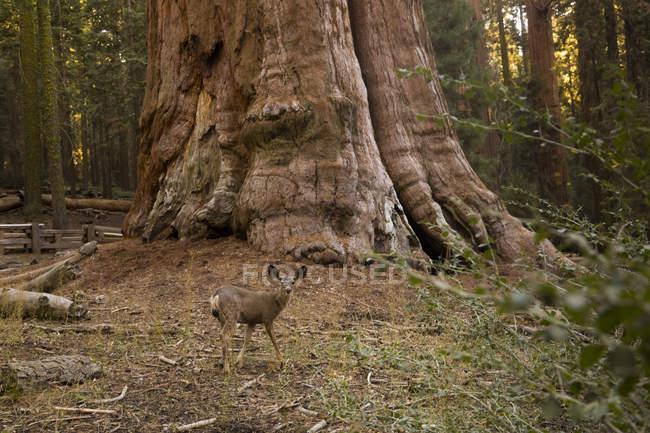 États-Unis, Californie, Death Valley, General Sherman Tree, séquoia géant, Sequoiadendron giganteum — Photo de stock