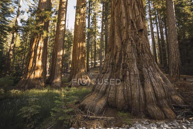 USA, California, Yosemite National Park, Mariposa, sequoias — Stock Photo