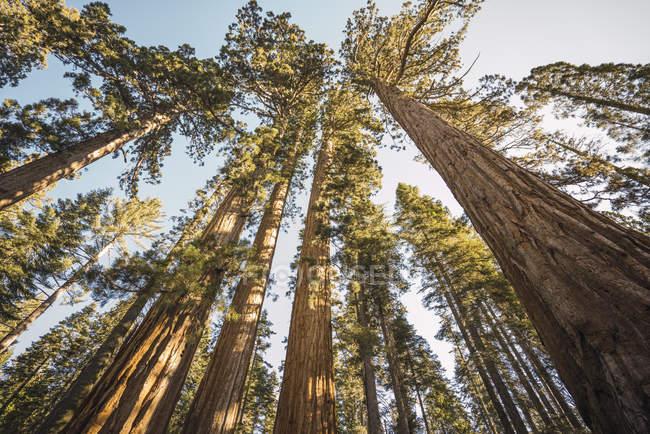 EUA, Califórnia, Parque Nacional de Yosemite, Mariposa, sequoias — Fotografia de Stock