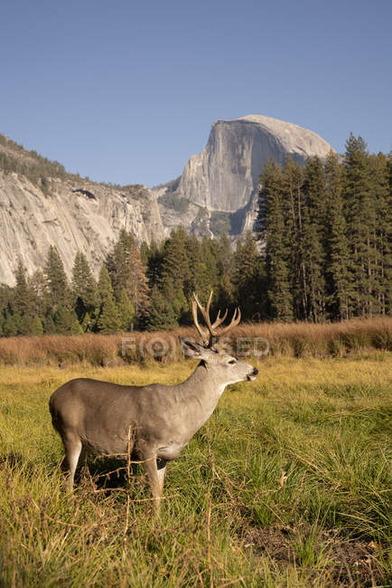 USA, California, Yosemite National Park, deer on a field with El Capitan in background — Stockfoto