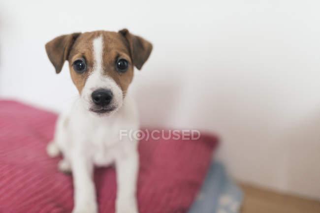 Джек Руссель тер'єр, жіноча собака — стокове фото