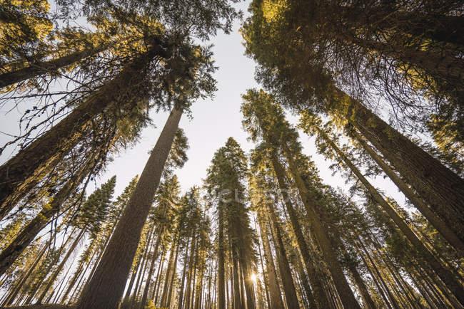 США, Каліфорнія, Національний парк Yosemite, Маріпоса, секвої — стокове фото
