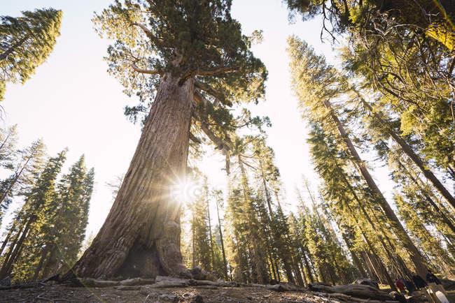 Usa, California, Parco Nazionale di Yosemite, Mariposa, sequoie — Foto stock