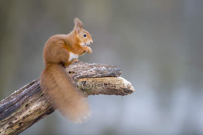 Портрет поедания евразийской красной белки, приседающей на стволе дерева зимой — стоковое фото