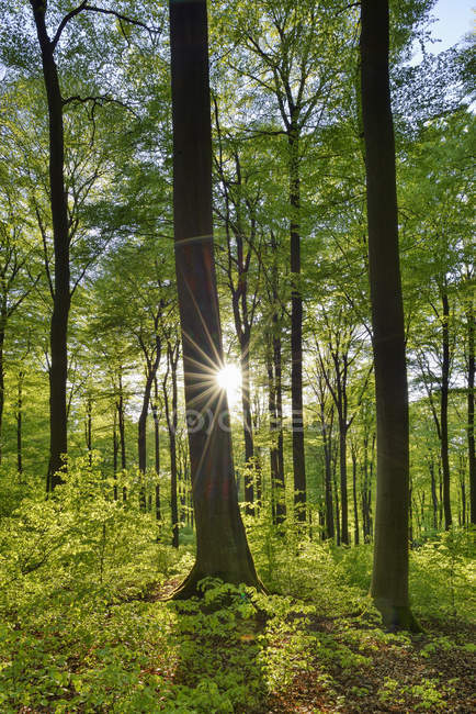 Forêt verte vitale au printemps avec soleil et rayons de soleil, Westerwald, Rhénanie-Palatinat, Allemagne — Photo de stock