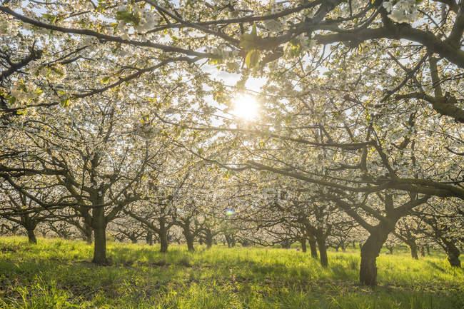 Німеччина, Саксонія-Ангальт, Вернігероде, квітучі вишневі дерева у вечірній час — стокове фото