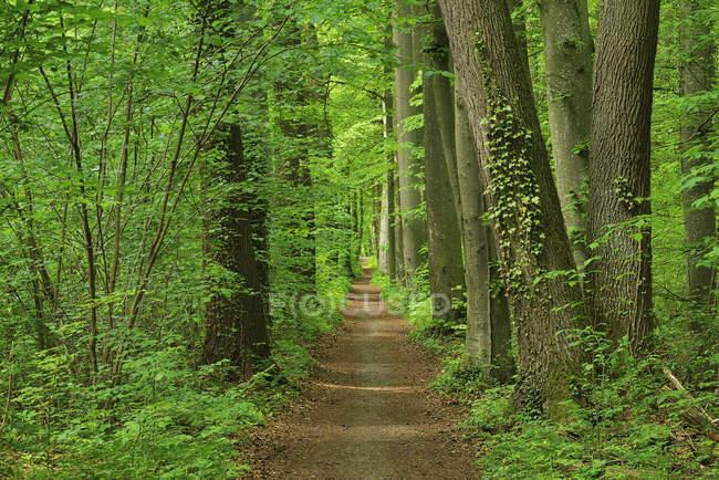Passo a passo pela floresta na primavera, Baviera, Alemanha — Fotografia de Stock