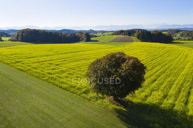 Germania, Alta Baviera, Veduta aerea del campo di colza e dell'albero vicino a Muensing — Foto stock