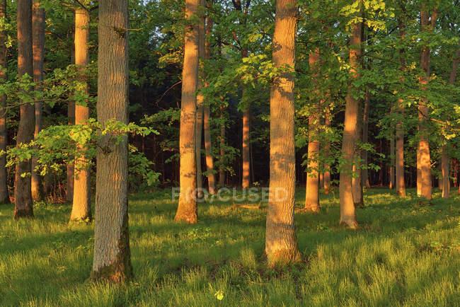 Раннее утреннее солнце в лесу на старых дубах. Бавария, Германия — стоковое фото