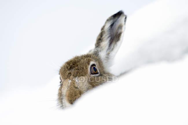 Uk, Scozia, Lepre di montagna nella neve — Foto stock