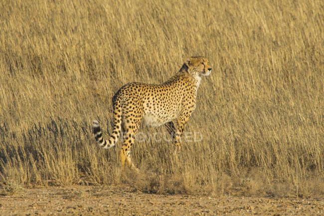 South Africa, Kalahari Transfrontier Park, Cheetah, Acinonyx jubatus — Stock Photo