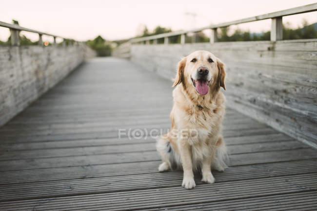 Retrato de un perro golden retriever sentado en un puente de madera - foto de stock