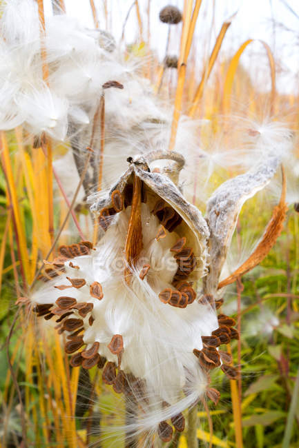 Germany, Showy Milkweed in botanical garden in autumn — Stock Photo