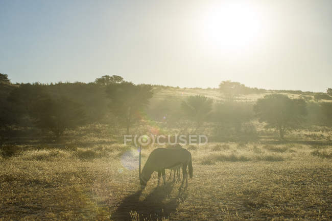South Africa, Kalahari Transfrontier Park, gemsboks, Oryx gazella — Stock Photo