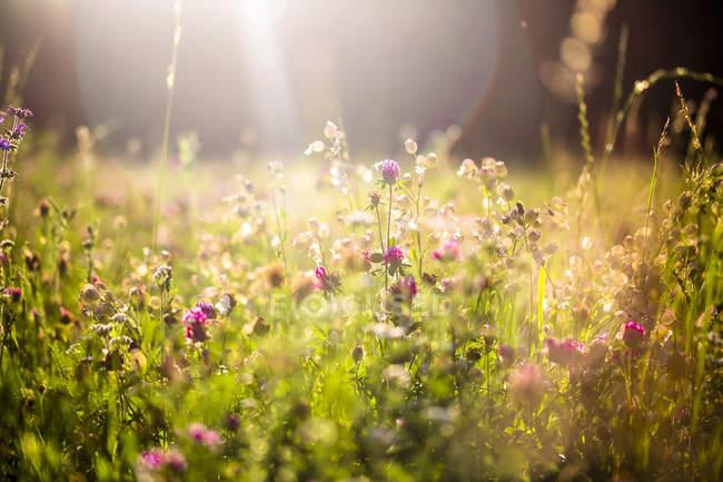 Prato estivo al crepuscolo di sera — Foto stock
