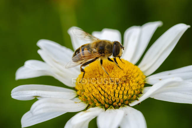 Albanien, Valbona-Nationalpark, Schwebfliege, Syrphus sp., auf Blume — Stockfoto