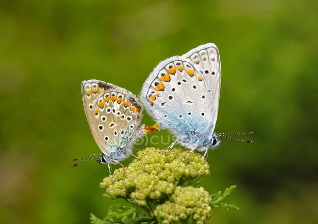 Albania, Parco Nazionale di Valbona, comuni farfalle blu copulanti — Foto stock