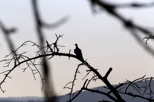 Dove arroccato sull'albero morto — Foto stock