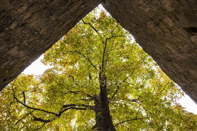 Старе каштанове дерево в замку Альзенау (Німеччина). — стокове фото