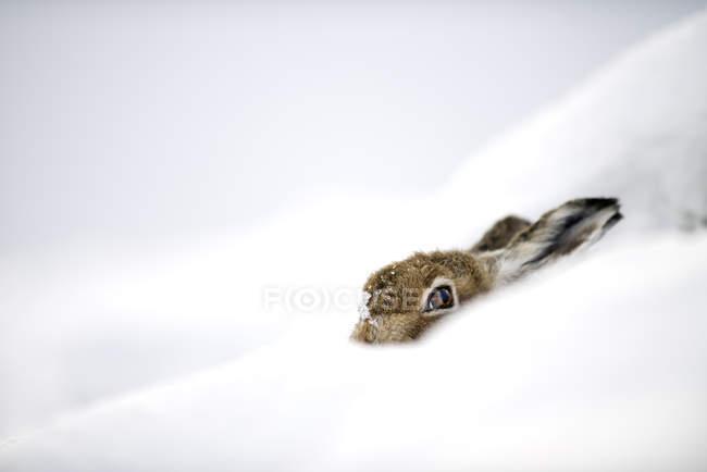 Uk, Scozia, Lepre di Montagna nascosta nella neve — Foto stock