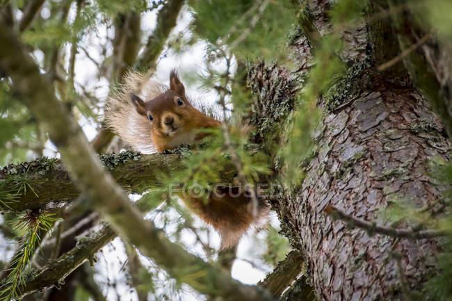 Шотландия, красная белка, Sciurus vulgaris — стоковое фото