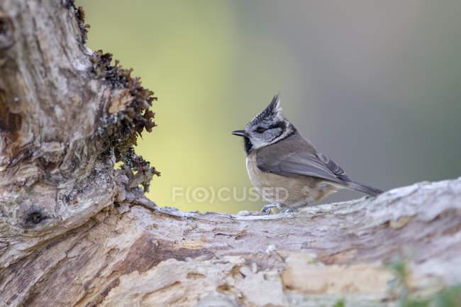 Хохлатая синица на стволе дерева — стоковое фото