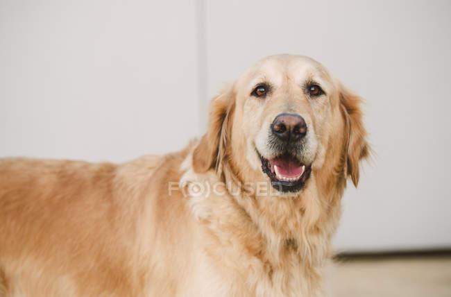 Portrait de chien Golden retriever — Photo de stock