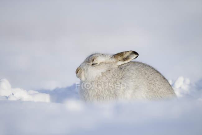 Scozia, Lepre di montagna, Lepus timidus — Foto stock