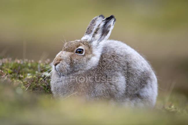 Uk, Scozia, Lepre di Montagna — Foto stock