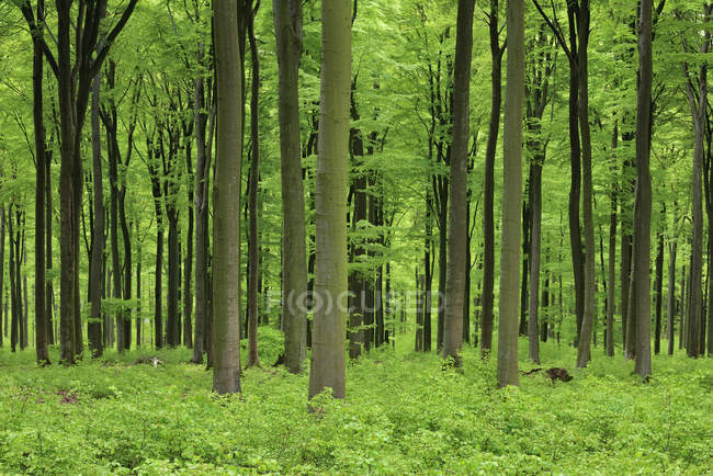 Vital green forest in spring. Westerwald, Rhineland-Palatinate, Germany — Stock Photo