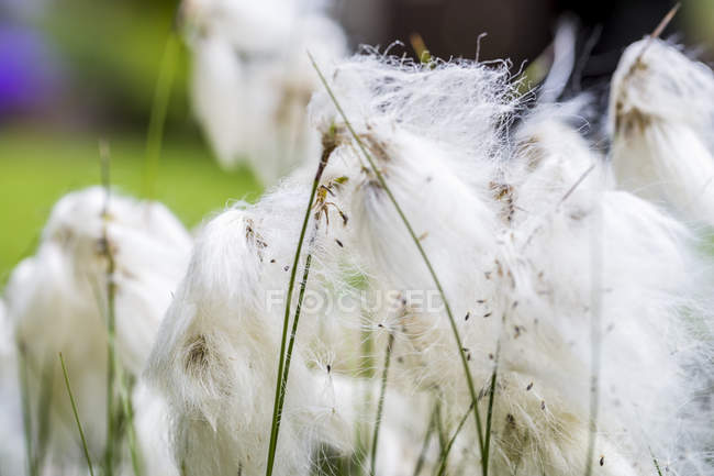 Хлопчатобумажная трава днем, крупным планом — стоковое фото