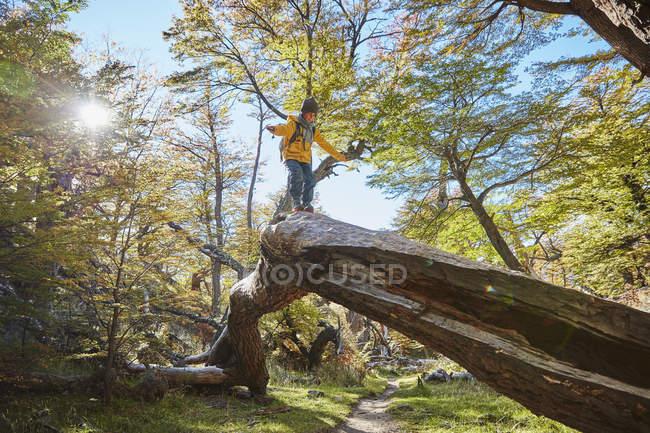 Аргентина, Патагония, Эль-Чемберлен, мальчик балансирует на стволе дерева в лесу — стоковое фото