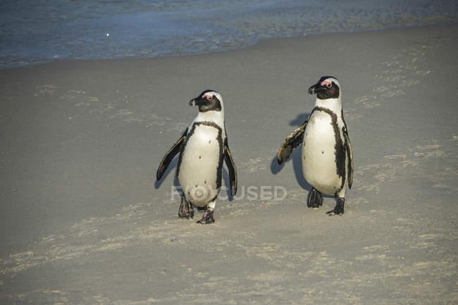 Sudafrica, Capo di buona speranza, Spiaggia di massi, pinguini asini, Spheniscus demersus — Foto stock