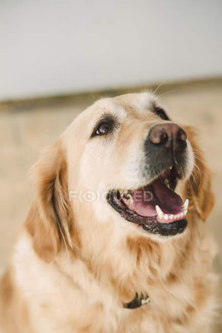 Golden Retriever Hundeporträt — Stockfoto