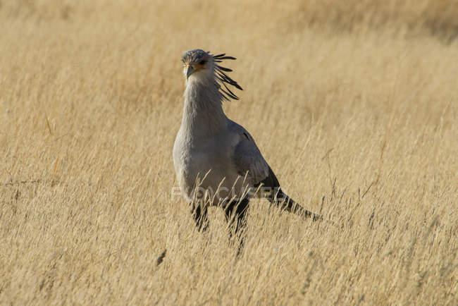 South Africa, Kalahari Transfrontier Park, Secretary bird, Sagittarius serpentarius — Stock Photo