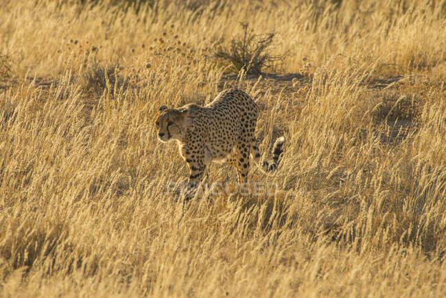 Sudáfrica, Parque Transfronterizo Kalahari, Cheetah, Acinonyx jubatus - foto de stock