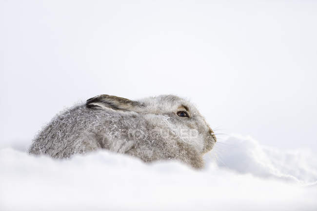 Regno Unito, Scozia, ritratto di Lepre di Montagna nella neve — Foto stock