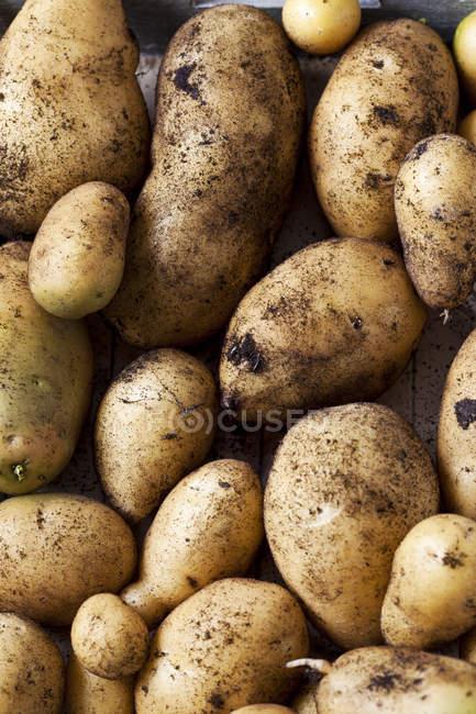 Feche acima de batatas da perfuração — Fotografia de Stock