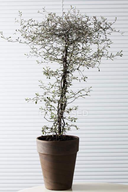 In vaso Corokia cotoneaster su tavolo di legno — Foto stock