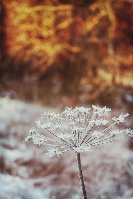 Dried frozen ground elder — Stock Photo