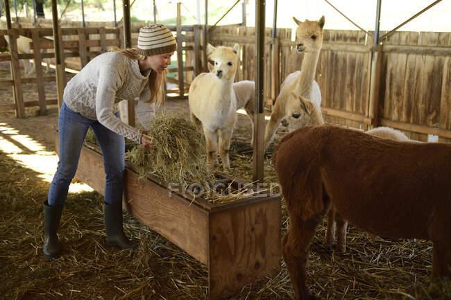 Donne mature che lavorano presso la stalla di alpaca — Foto stock