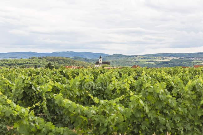 Austria, Krems-Land District, Stratzing, vineyard — Stock Photo