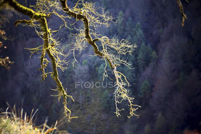 Spain, Gorbea Natural Park, moss grown tree — Stock Photo